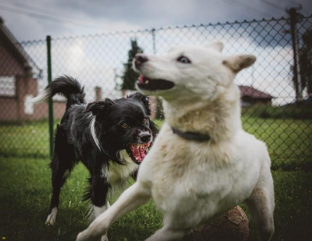 black dog and white dog fighting